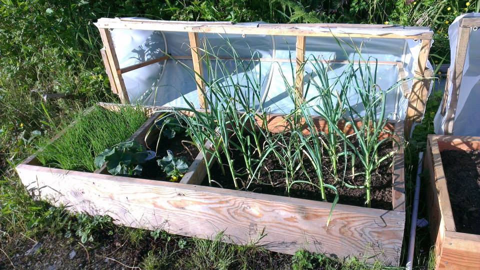 The larger cold frame grew green onions, cucumbers and garlic. July 2013