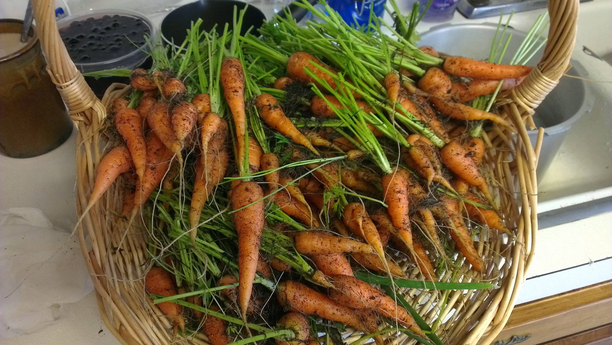 Main carrot harvest, 2013