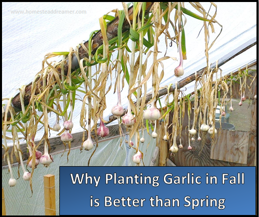 why planting garlic in fall is better than spring homestead dreamer. Black Bedroom Furniture Sets. Home Design Ideas