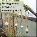 For Beginners: Growing Garlic