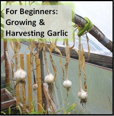 Grow_Harvest_Garlic