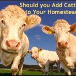 Should You Add Cattle to Your Homestead?